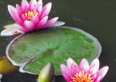Water_Feature_Pond_Lily_Pad
